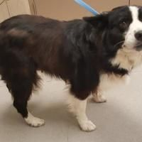 Pictures of Juno a Border Collie for adoption in Mesquite, TX who needs a loving home. Mesquite Texas, Border Collie Mix, Animal Rescue Site, Adoption, Meet, Dogs, Pictures, Animals, Photos