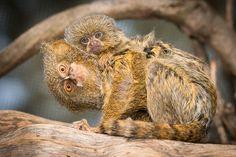 Pygmy Marmosets at Mogo Zoo. Pygmy Marmoset, Lemurs, New Politics, Cute Animals, News, Pretty Animals, Cutest Animals, Lemur, Cute Funny Animals
