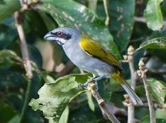 The Yellow-Shouldered Grosbeak, or Parkerthraustes humeralis, is a distinctive but seldom seen inhabitant of the canopy of terra firma fores...