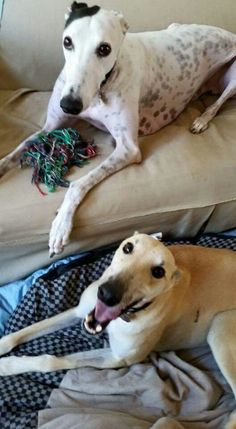 Beautiful Greg (black and white) and his foster buddy.  Greg is available for adoption!  http://www.galtx.org/hounds/greg.shtml