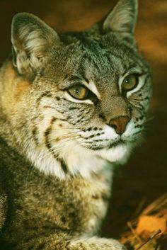 Bobcat. #HersheyPA