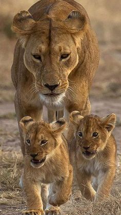 my misty morrning Cute Animals Kissing, Cute Baby Animals, Animals And Pets, Lioness And Cub Tattoo, Lioness And Cubs, Lion Pictures, Cute Animal Pictures, Beautiful Cats, Animals Beautiful