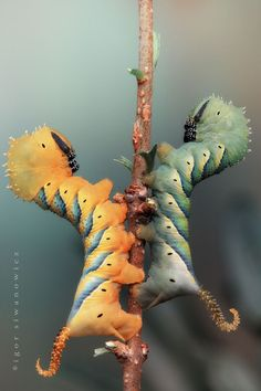 death's head catipillars photographed by Igor Siwanowicz