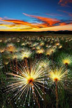 Paepalantus Wildflower at Sunset in Brazil.