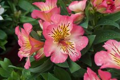 Alstroemeria - Floriferous Garden - Find your Horticultural Society and learn everything about Flowers and Gardening Bright Flowers, Different Flowers, Types Of Flowers, Tropical Flowers, Small Flowers, Pink Flowers, Amazing Flowers, Beautiful Flowers, Types Of Red
