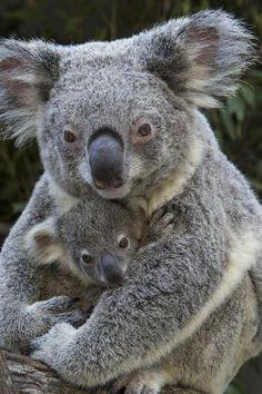 1-koala-mother-holding-joey-australia-suzi-eszterhas