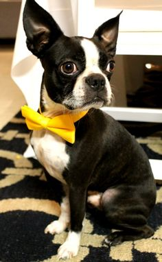 The best accessory for a Boston Terrier - a bow tie