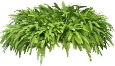Free pictures of ornamental tropical / subtropical plants with transparent bacground for use in 3D and 2D architectural renderings or visualization .