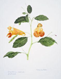 Jewel Weed Jewel Weed, Healing Herbs, Medicinal Plants, Leg Tattoos, Botanical Illustration, Herbal Remedies, Botanical Prints, Mother Earth, Floral Watercolor