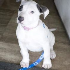Fresno, CA - American Pit Bull Terrier. Meet Dragonfly a Dog for Adoption.