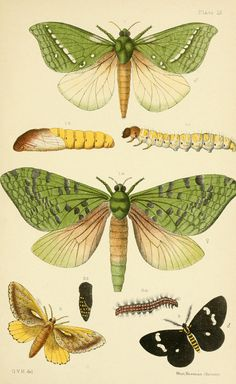 Illustration from An elementary manual of New Zealand entomology; being an introduction to the study of our native insects. With 21 coloured plates. Hudson … Now known as the puriri moth (Aenetus virescens). Illustration Papillon, Illustration Botanique, Butterfly Illustration, Botanical Illustration, Vintage Butterfly, Butterfly Art, Sibylla Merian, Science Illustration, Nature Illustrations