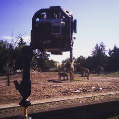 #filming #girrafes at the #zoo. #gopro #goprooftheday #goprohero4 #vr #vrpremium #virtualreality #animals #savannah #wildlife #africa #movie