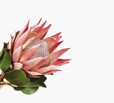 The Protea · Strong + Regal One of my all time favorites - the geometric shapes. The Protea · Stro Flower Power, My Flower, Botanical Art, Botanical Illustration, Cactus Plante, Protea Flower, Diy Garden, Foliage Plants, Geometric Shapes