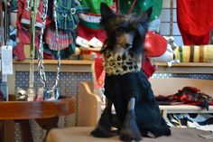 Josie, Chinese Crested hairless, owned and groomed by Dalynn A. Boyer