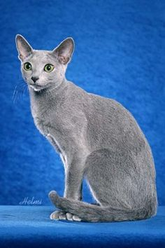 Russian Blue cat-bottle green eye color, mauve colored paw pads, double coat with silver tipping on the longer hairs, bottom coat has a wavy look to it. The silver tipping and wavy undercoat gives this cat its shimmery blue look.