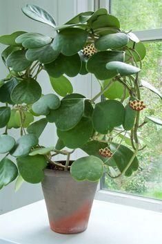 Hoya Plants, Potted Plants, Indoor Plants, Indoor Gardening, Mini Plantas, Pot Plante, Cactus Y Suculentas, Clematis, Diy Hairstyles