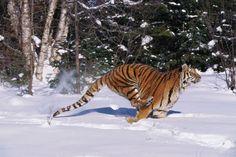 tiger chasing prey