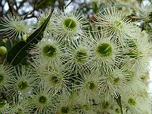 Corymbia gummifera - Wikipedia, the free encyclopedia Native Plants, House Plants, Herbs, Garden, Hot House, Free, Outdoor, Dahlias, Wedding