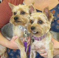 Meet Roxy and Lola, a Petfinder adoptable Yorkshire Terrier Yorkie Dog | Tulsa…