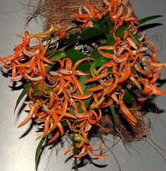 Beautiful Miniature Dendrobium lamyaiae Blooming Size Orchid Plant