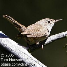 Tail of the House Wren | BirdNote