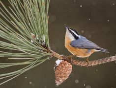 Red-breasted Nuthatch by Nick Shearman - 2013 Photo Awards Top 100 Pretty Birds, Love Birds, Beautiful Birds, Ohio Birds, Parus Major, Backyard Birds, Garden Birds, Crazy Bird, Photo Awards