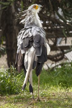 The Secretary bird is a large bird for the most part earthbound winged bird of prey. Endemic to Africa it is generally found in the open fields and savannah of the sub-Saharan district. Pretty Birds, Beautiful Birds, Animals Beautiful, Nature Animals, Animals And Pets, Cute Animals, Exotic Birds, Colorful Birds, All Birds