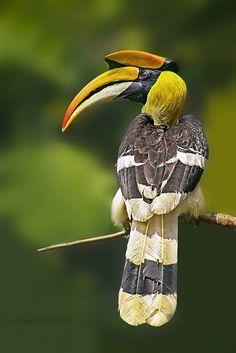 Great Hornbill Male