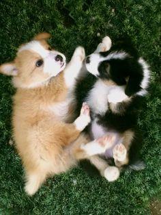 Border Collie Puppies Facebook.com/Lemong2012