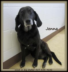 Petfinder  Adoptable | Dog | Labrador Retriever | Bowling Green, OH | JENNA