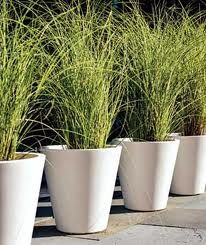 Grass in pots for around the pool