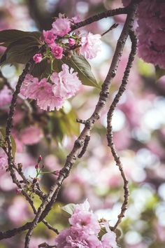 Cherry blossoms, NYC