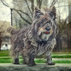 cairn terrier- Darby in a few more years!