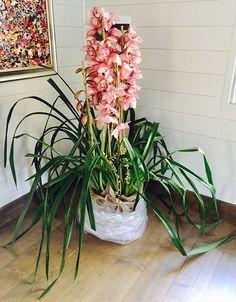 orchidea enorme