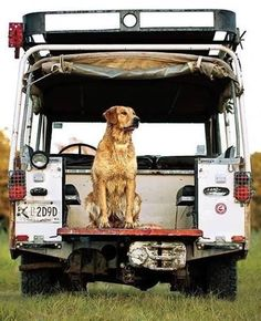 A wet dog on an old Land Rover -