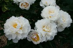 "https://flic.kr/p/cqnXYu | Peony ""Gardenia"""