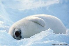 iced earth - how could anyone kill one of these adorable creatures.  It has got to stop!