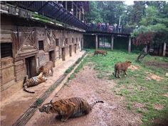 A MUST READ! PLEASE SHARE TOO! Down on the tiger farm The impact of farming tigers in China is greater than just the grisly nature of the fate of the animals – it also affects the survival of the species in the wild, and now that threat is greater, say conservationists. © EIA