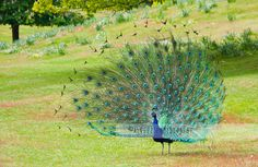 Brownsea Peacock (Front) by Alvezz Photography, via Flickr