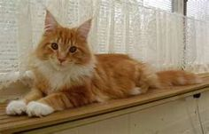 Maine Coon cat. Identical to our Maggie.