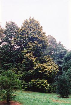Click to view full-size photo of Golden Hinoki Falsecypress (Chamaecyparis obtusa 'Aurea') at Lurvey Garden Center