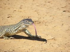 Sand Monitor, Varanus gouldii, from Mount Wood, New South Wales, Australia by Alan Couch via Flickr (cc-by): http://www.flickr.com/photos/couchy/4197640105/