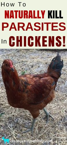 Raising Chickens Ideas, Backyard Chickens Ideas, Naturally Kill Parasites In Chickens, Essential Oils For Chickens, Essential Oils On The Homestead, Essential Oil Recipes, Frugal and Self Sufficient Living