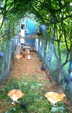 Grow vines or wisteria over chicken run for shade & safety from hawks. Vielleicht über den Kaninchenställen???