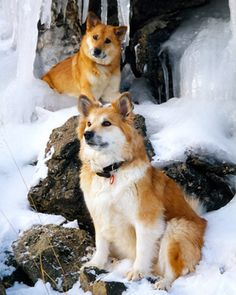 Icelandic Sheepdogs - This looks enough like my dog to be her identical twin!