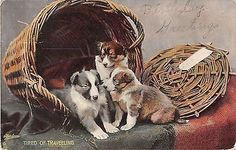 Collie or Sheltie Puppies in Basket-Tired of Traveling on 1933 Tuck Puppydom PC