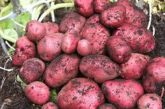 Certified Organic Red Seed Potatoes AAA Rating Disease Free Tested by STERLING ORGANIC SEED. $11.99. NEW DISEASE FREE SEED. RED PONTIAC SEED POTATOE RAISED IN THE RICH FERTILE RED RIVER VALLEY OF THE NORTH IN MINNESOTA