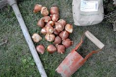 """La période de plantation des bulbes (tulipes, narcisses, jacinthes, crocus, iris...) bat son plein. Voici réunies 5 erreurs à éviter lors de l'installation au jardin ou en pots de ces """"belles promesses de fleurs"""" que sont les bulbes... http://www.jardipartage.fr/planter-des-bulbes-conseils/"""