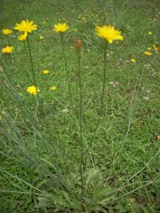 How Can I Tell The Difference Between Dandelion And Wild
