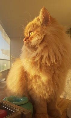 Pretty Cats, Beautiful Cats, Cute Cats, Persian Kittens, Cats And Kittens, Fluffy Animals, Cute Animals, Orange Persian Cat, Cat Entertainment